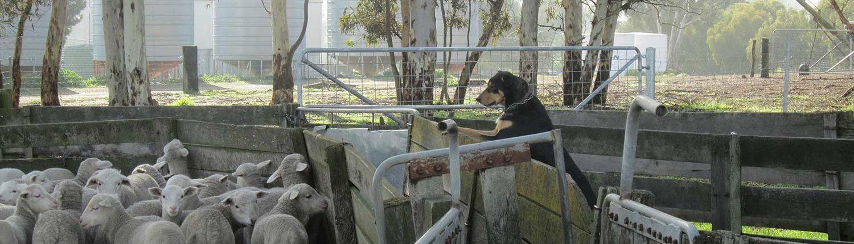kojonup agricultural supplies animal health