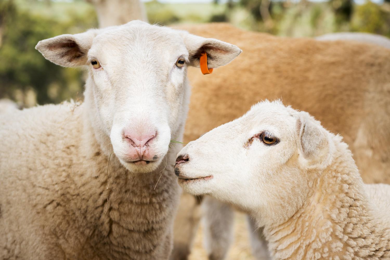 Ewe and her lamb.