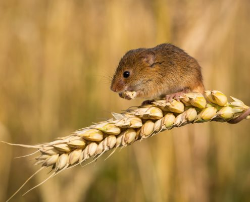 Rat feasting on crop.