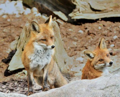 Feral fox and cub.